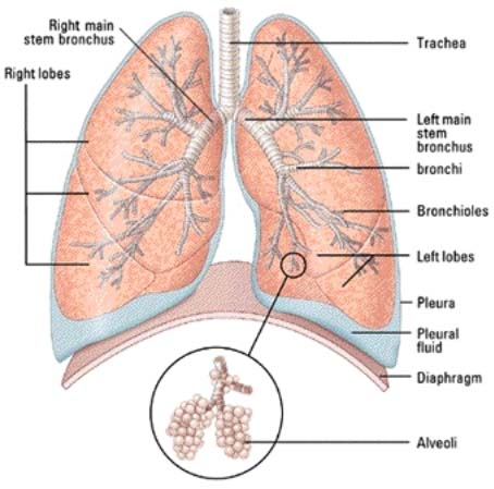here are some links on lungs and body parts.